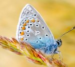Blue-butterfly-Samsung-Galaxy-S3-mobile-wallpaper